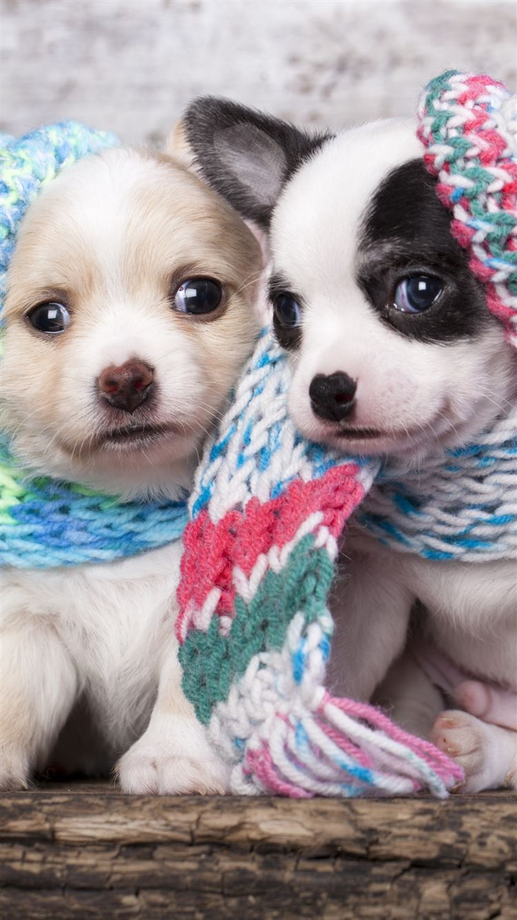 Cute Scarf Puppy Dog Couple Iphone 8 Wallpapers Free Download