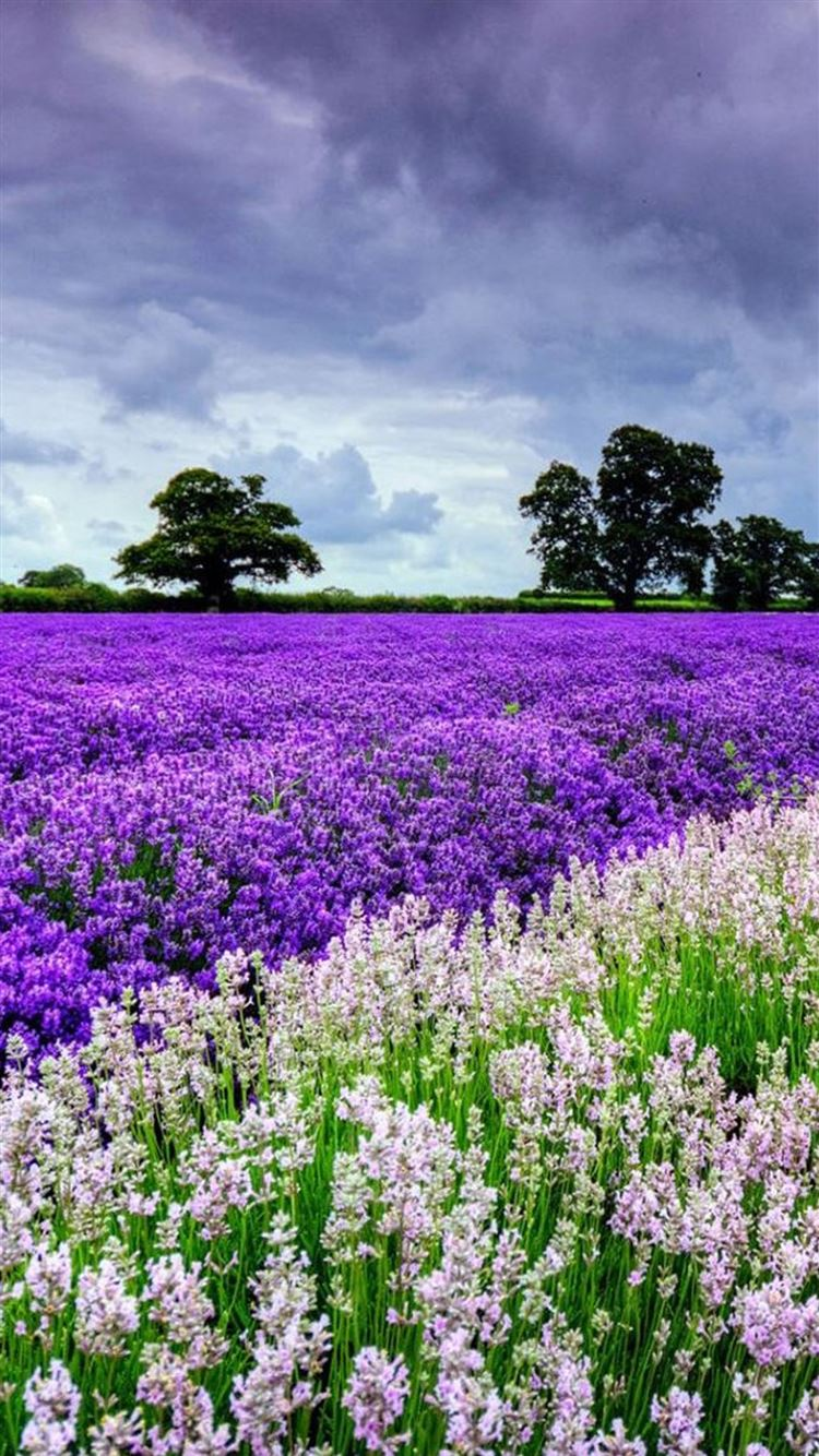 Nature Lavender Flower Filed Garden Iphone 8 Wallpapers Free Download