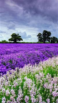 Nature Lavender Flower Filed Garden iPhone 6(s)~8(s) wallpaper
