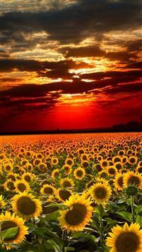 Nature Sunflower Field Landscape iPhone wallpaper