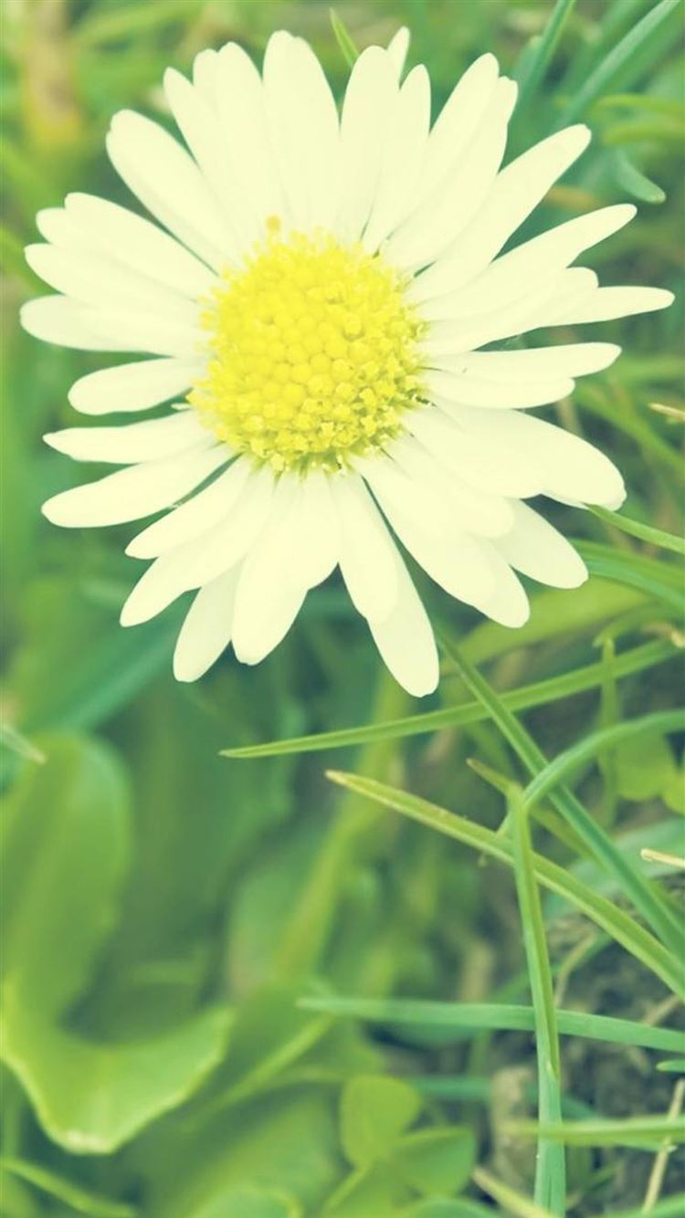 White Sunshine Daisy Flower Iphone 8 Wallpapers Free Download