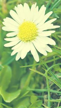White Sunshine Daisy Flower iPhone wallpaper