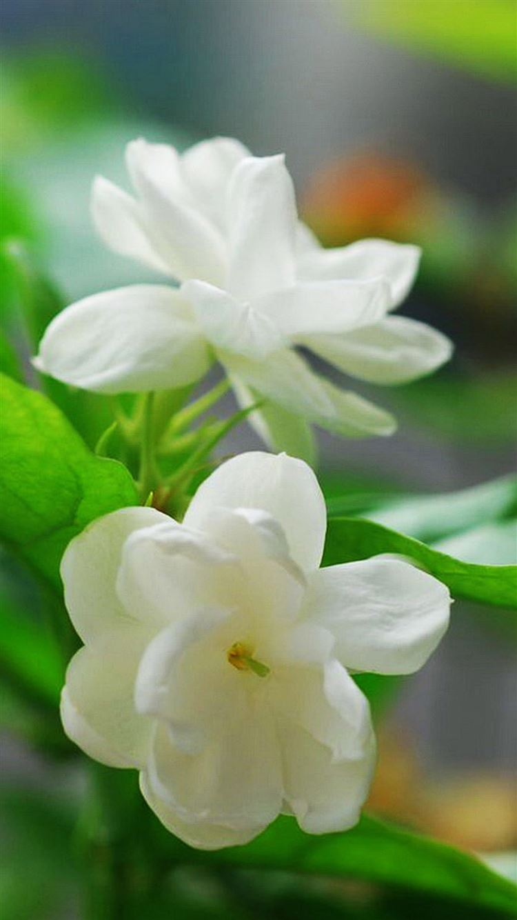 Pics of jasmine flower download