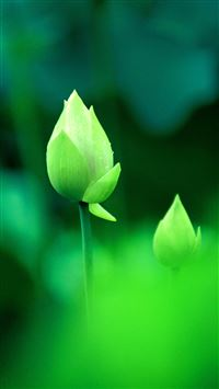 Fresh Green Lotus Bud Macro Bokeh iPhone 6(s)~8(s) wallpaper