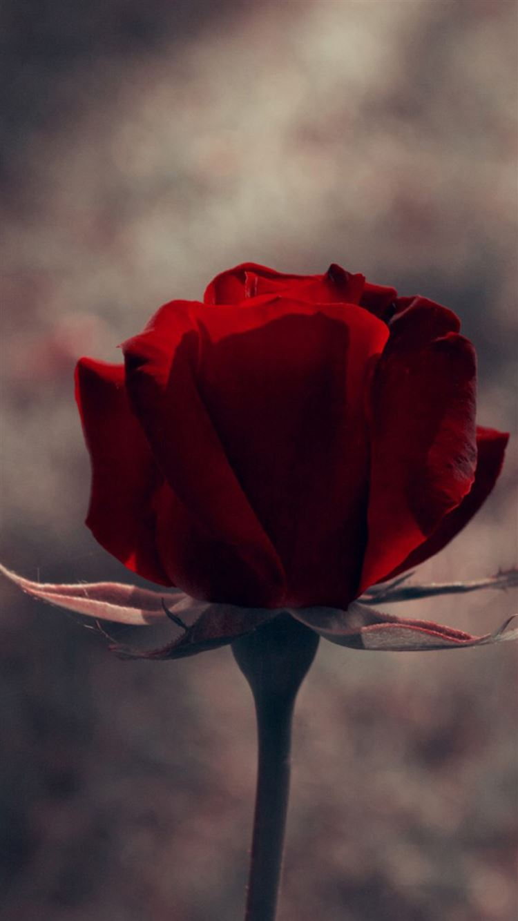 Vintage One Red Rose Macro Iphone 8 Wallpaper Download Iphone