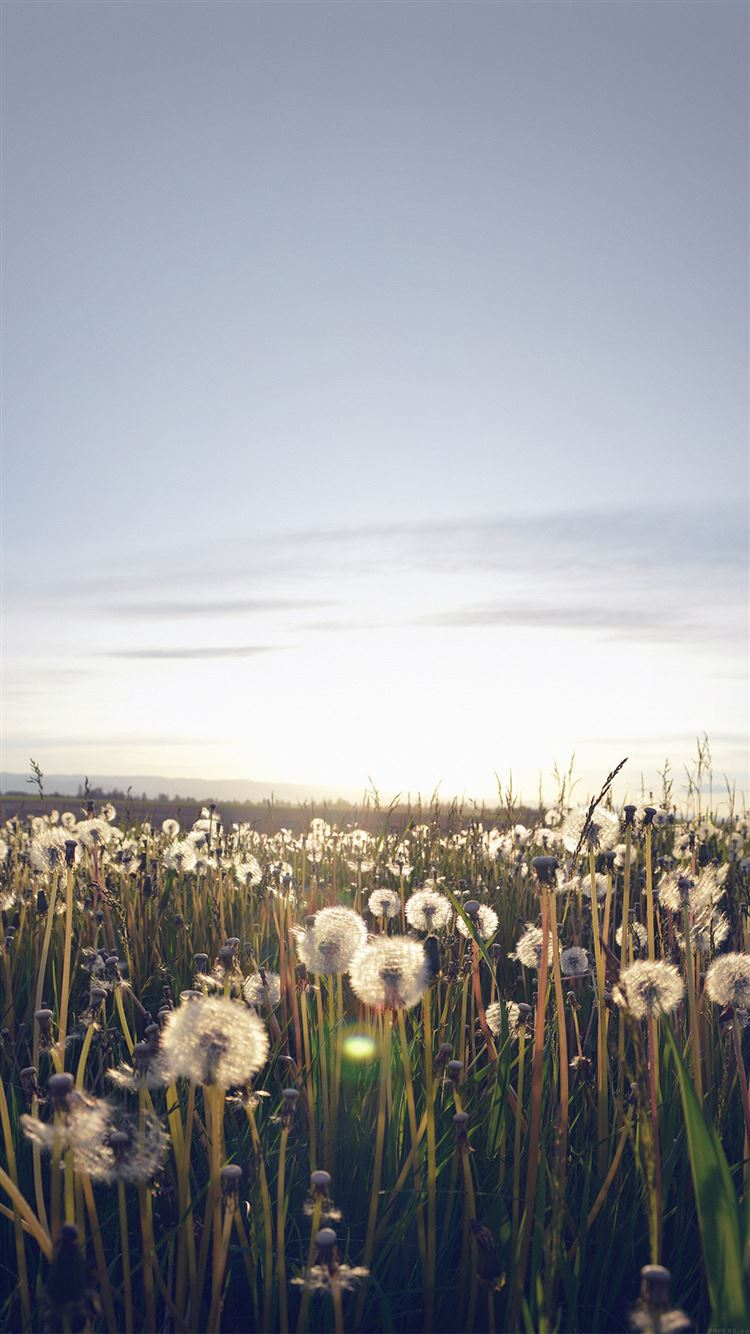 Best Dandelion Iphone 8 Wallpapers Hd Ilikewallpaper