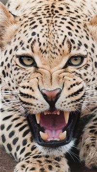 Fierce Shouting Panthera Pardus Macro Face iPhone 6(s)~8(s) wallpaper
