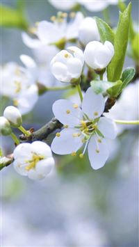 Nature Pure White Flower Bloom Branch iPhone 6(s)~8(s) wallpaper