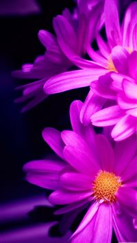 Purple Pink Daisy Flower Bouquet Macro iPhone 6(s)~8(s) wallpaper