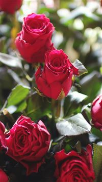 Nature Red Rose Flower Gift Bouquet iPhone 6(s)~8(s) wallpaper