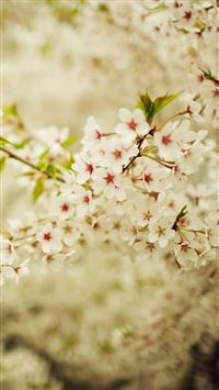 Romantic White Cherry Blossom Branch iPhone 6(s)~8(s) wallpaper