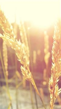 Nature Wheat Rice Sunlight Plant iPhone 6(s)~8(s) wallpaper