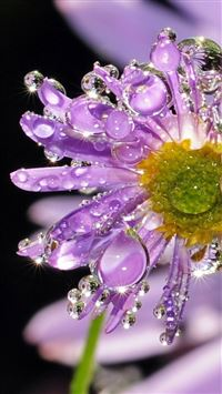Dew Crystal Purple Daisy Flower Macro iPhone 6(s)~8(s) wallpaper