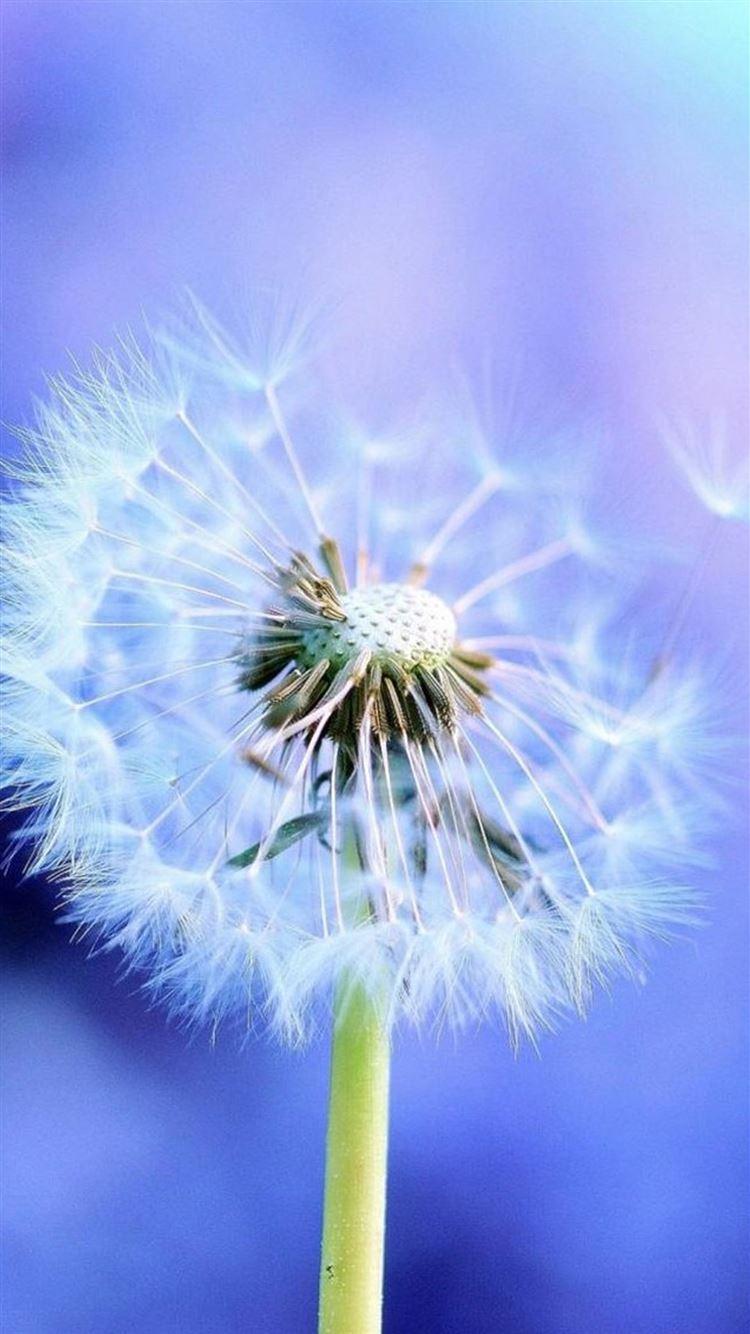 Pure Beautiful Dandelion Flower Macro Iphone 8 Wallpaper Download