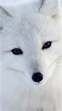 Artic Fox White Animal Cute iPhone 6(s)~8(s) wallpaper