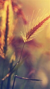 Farm Wheat Corp Macro Blur iPhone 6(s)~8(s) wallpaper