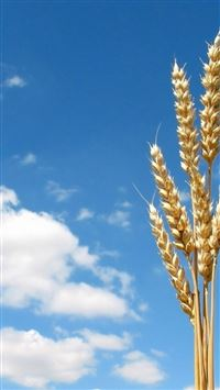 Nature Bright Wheat Rice Bunch Sunny Skyview iPhone 6(s)~8(s) wallpaper