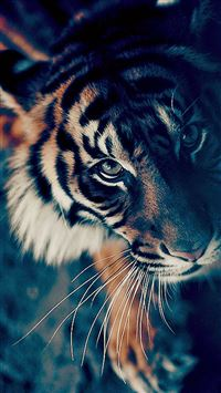 Bengal Tiger Face Closeup iPhone wallpaper