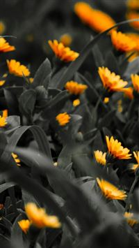 Orange Flowers Black White Photo iPhone 6(s)~8(s) wallpaper
