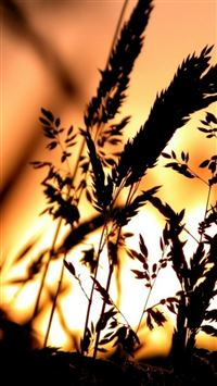 Golden Sunset Reed Plant Shadow Landscape iPhone 6(s)~8(s) wallpaper