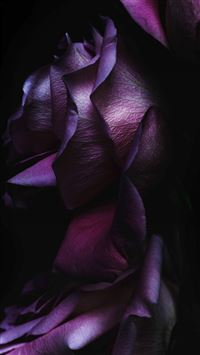 iOS9 Purple Rose Flower Art Wallpaper iPhone 6(s)~8(s) wallpaper