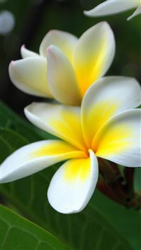 Pure Beautiful Plumeria Rubra Flower Branch Macro iPhone 6(s)~8(s) wallpaper
