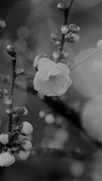 Apricot Flower Bud Dark Spring Nature Twigs Tree iPhone 6(s)~8(s) wallpaper