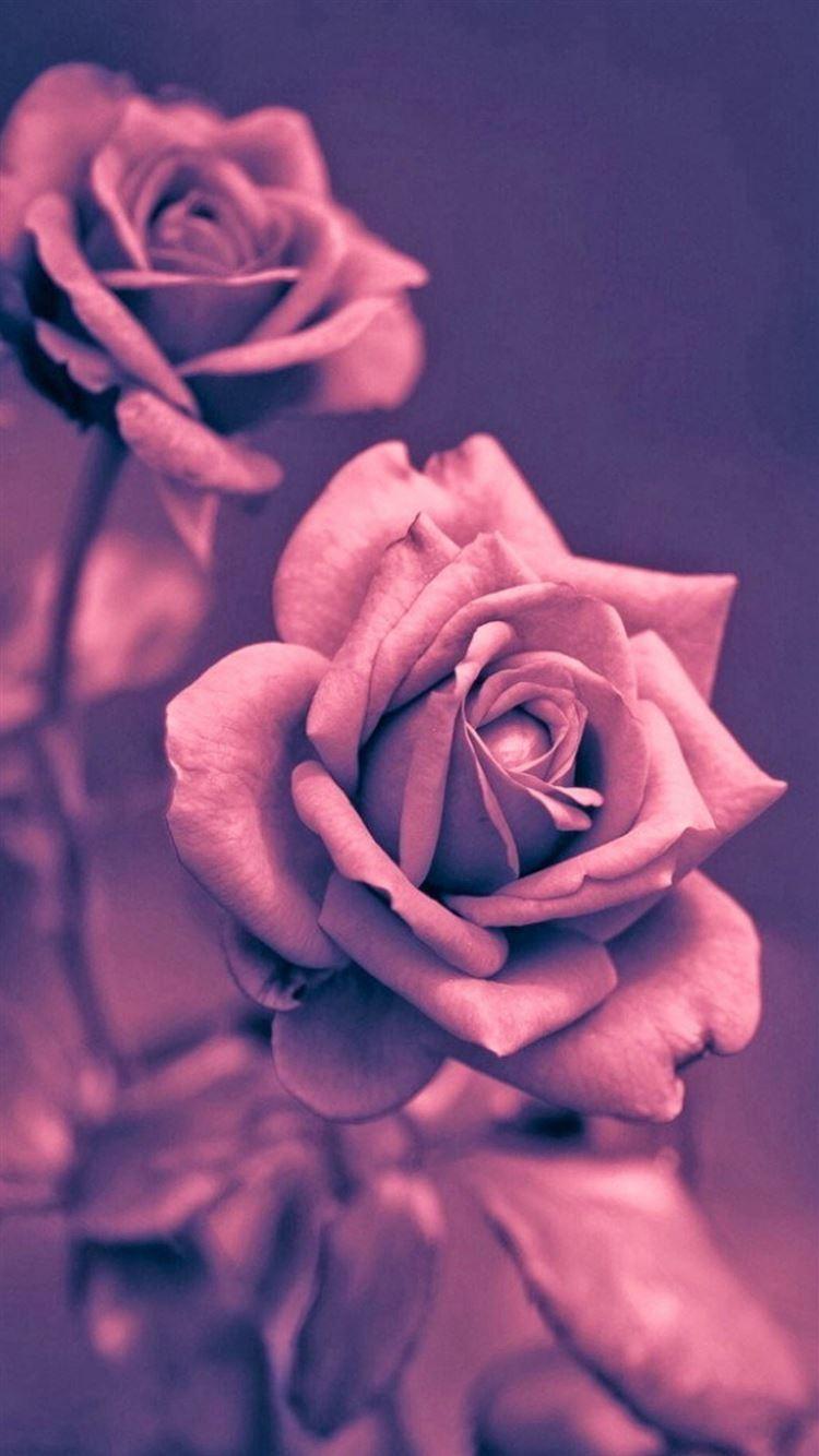 Beautiful Pink Rose Closeup Iphone 8 Wallpapers Free Download