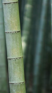 Bamboo Nature Tree Green iPhone 6(s)~8(s) wallpaper