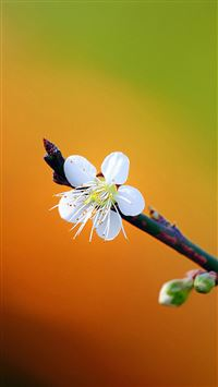 Pretty Plum Flower Spring Scene iPhone 6(s)~8(s) wallpaper