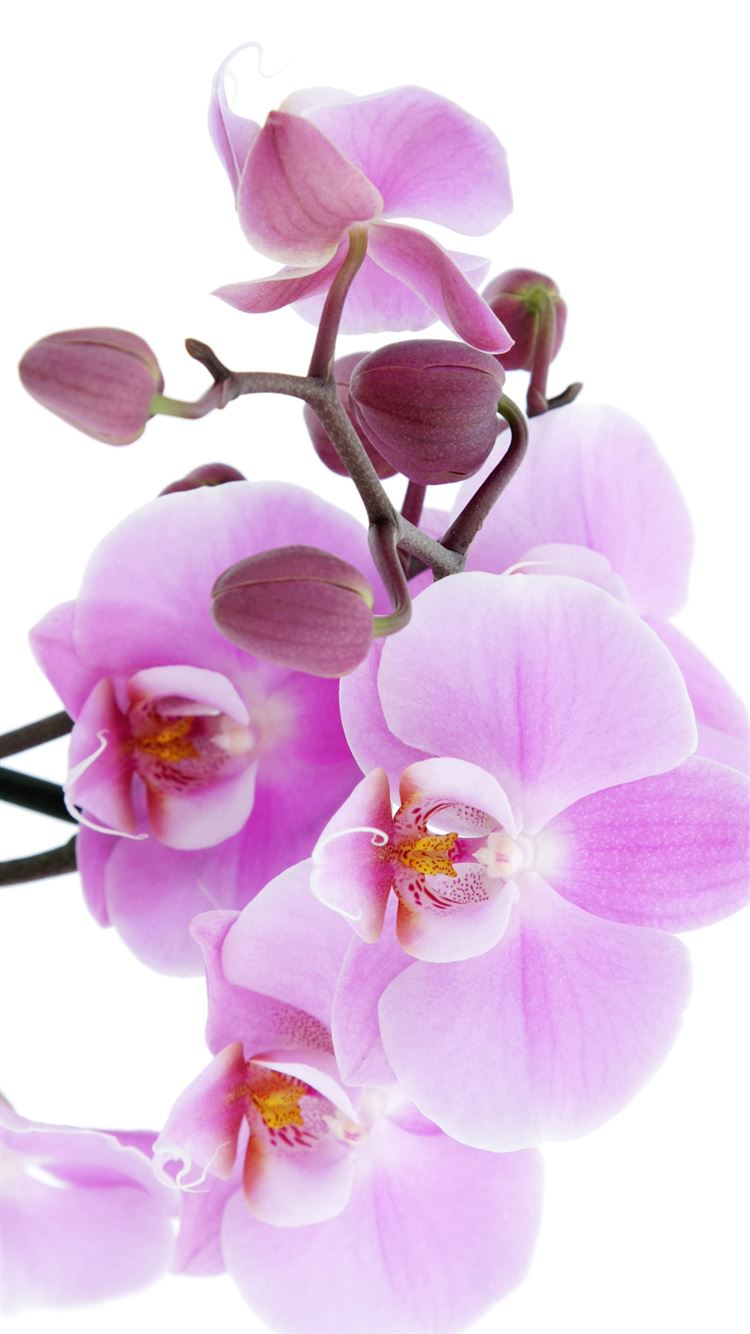 Pure Pink Orchid Iphone 8 Wallpapers Free Download