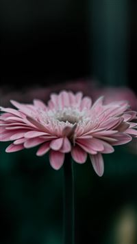 Flower Pink Calm Nature Bokeh iPhone 6(s)~8(s) wallpaper