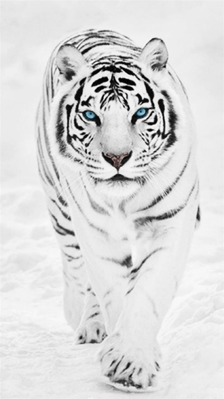 White Wild Tiger Animal Retina Iphone 8 Wallpapers Free Download