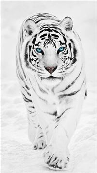 White Wild Tiger Animal Retina iPhone 6(s)~8(s) wallpaper