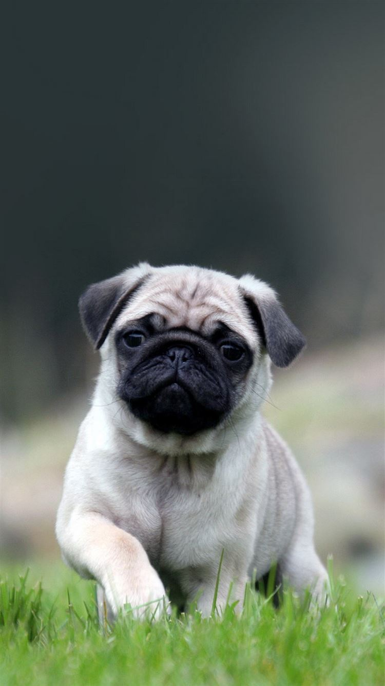 Cute Pug Dog In Grass Iphone 8 Wallpapers Free Download