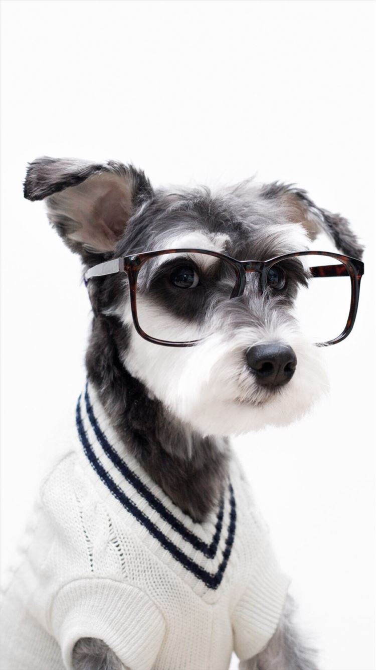 Schnauzer Cute Pet Lovely Puppy Dog Iphone 8 Wallpapers Free Download