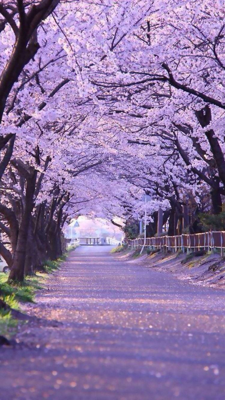 Sakura Blossom Street Iphone 8 Wallpapers Free Download