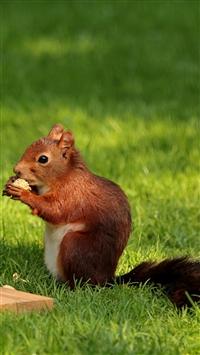 Squirrel Nuts Pork Grass iPhone wallpaper