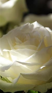 Roses Petals Bud Macro iPhone 6 wallpaper