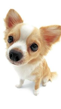 Cute Lovely Pet Puppy Dog Animal iPhone 6(s)~8(s) wallpaper