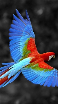 Brazil Parrot Colorful Feather iPhone 6(s)~8(s) wallpaper