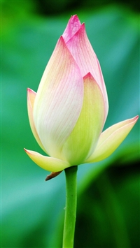 Pure Beautiful Lotus Flower Bud Macro Bokeh iPhone 6(s)~8(s) wallpaper