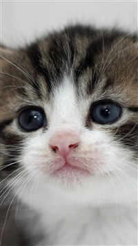 Kitten Face Eyes Tenderness iPhone 6(s)~8(s) wallpaper