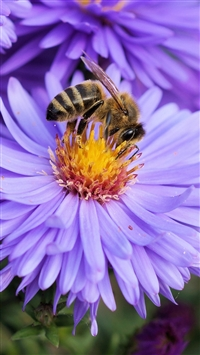 Bee Flower Pollination iPhone 6(s)~8(s) wallpaper