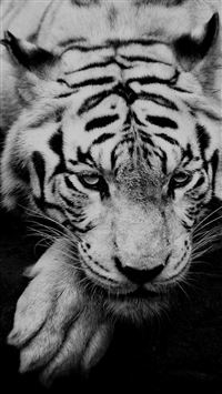 Black And White Tiger Portrait iPhone 6(s)~8(s) wallpaper