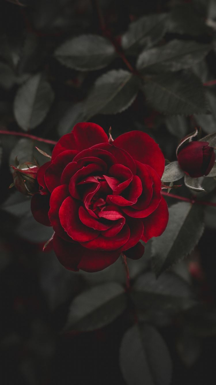 Rose Red Flower Bud Iphone 8 Wallpapers Free Download