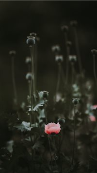 Pink Poppy with blank space iPhone 6(s)~8(s) wallpaper
