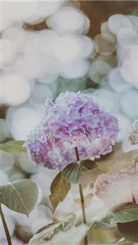 Hydrangea with beautiful bokeh iPhone 6(s)~8(s) wallpaper