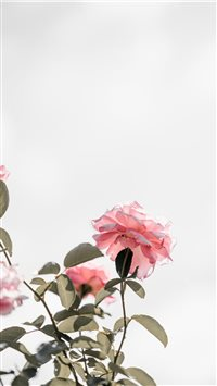 Pink roses with blank space  light iPhone 6(s)~8(s) wallpaper
