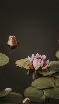 Lily pad iPhone 6(s)~8(s) wallpaper